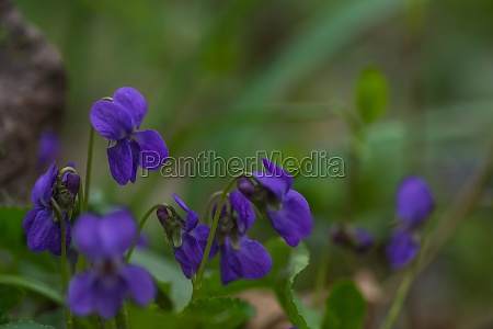 viola, fresco, profumato, nell'erba, verde - 29767887