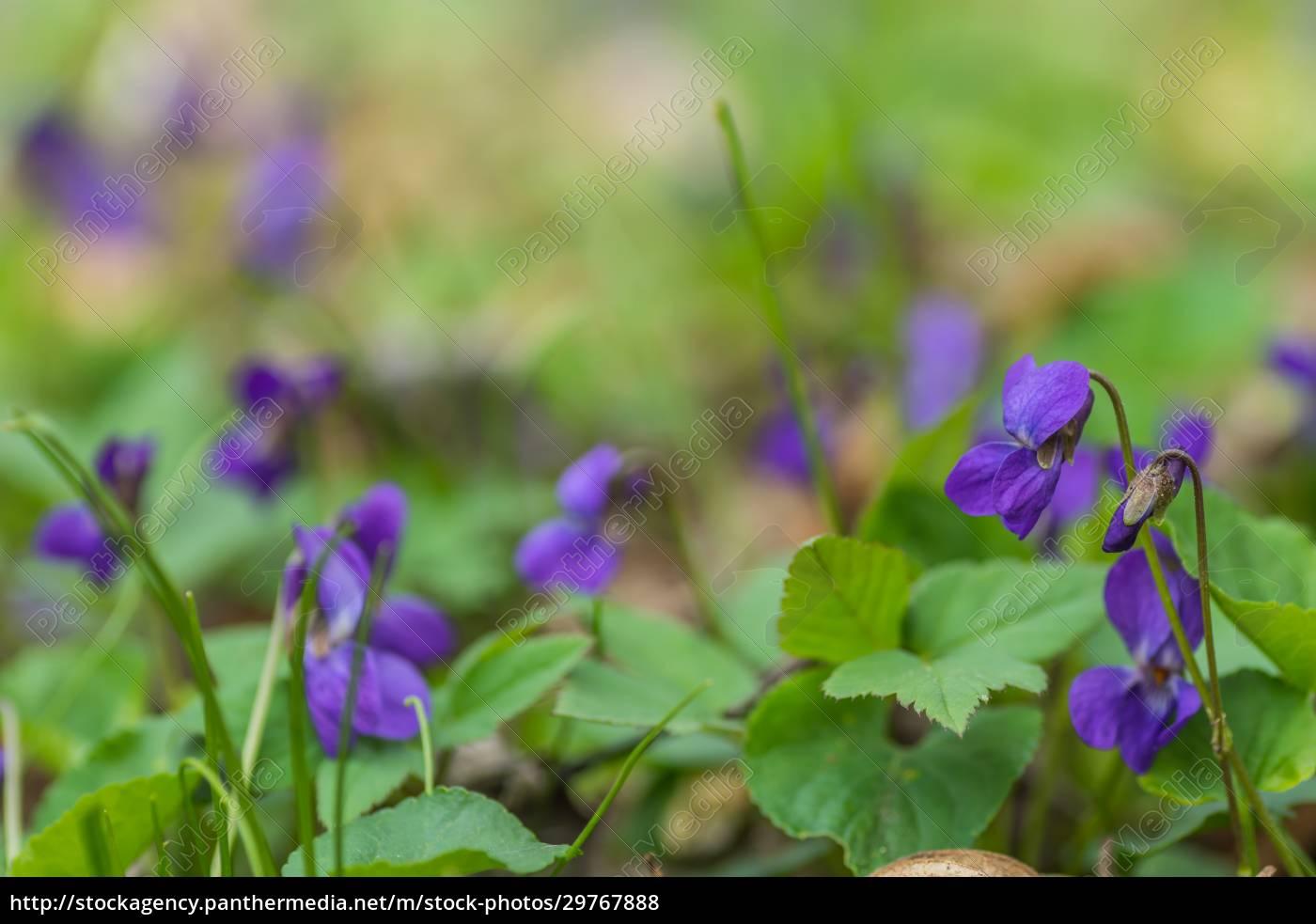 violoet, fresco, fragrante, in, piante, verde - 29767888